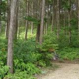 【大径木】スギの使い道に困ってるそうですよ。【林業】